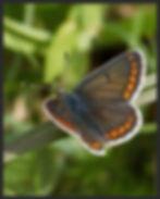 Aricia-agestis-brown-argus | PTKbutterflies