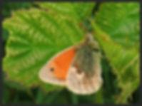 Coenonympha-pamphilus-small-heath | PTKbutterflies