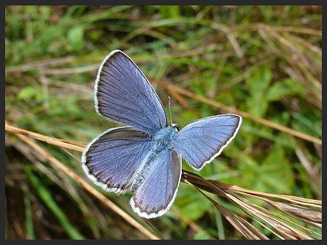 Plebejus-argyrognomon-reverdins-blue | PTKbutterflies