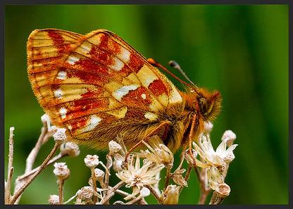 Boloria-pales-shepherds-fritillary-butte | PTKbutterflies