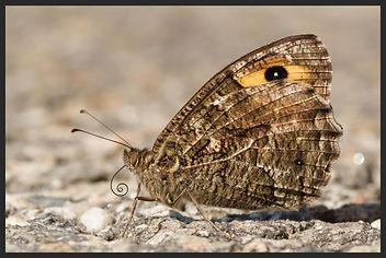 Hipparchia-semele-the-grayling | PTKbutterflies