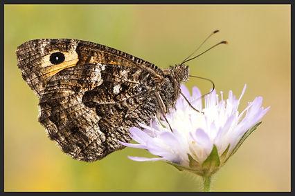 Hipparchia-senthes-balkan-grayling | PTKbutterflies