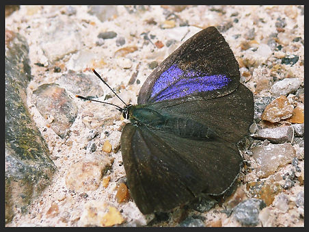 Favonius-quercus-purple-hairstreak | PTKbutterflies