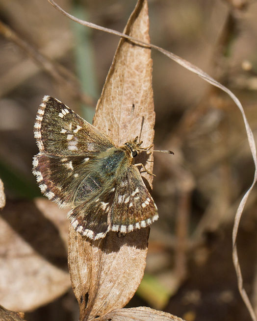 muschampia-proto-sage-skipper | PTKbutterflies