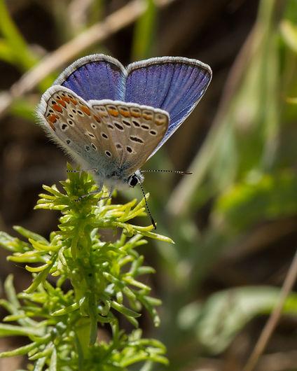 Polyommatus-celina-Astaut's-blue | PTKbutterflies