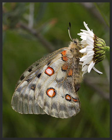 Parnassius-apollo-the-apollo | PTKbutterflies