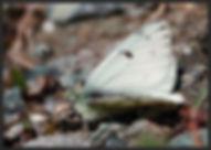 Pontia-callidice-peak-white | PTKbutterflies