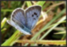 Phengaris-arion-large-blue-butterfly | PTKbutterflies