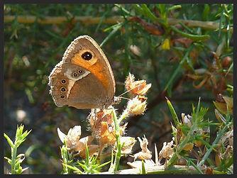 Pyronia-bathseba-spanish-gatekeeper   PTKbutterflies