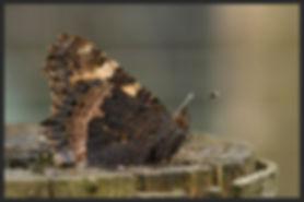 Aglais-urticae-small-tortoiseshell | PTKbutterflies