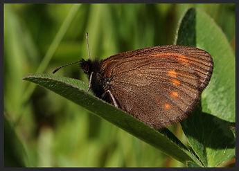 Erebia-pharte-blind-ringlet- | PTKbutterflies