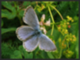 Phengaris-rebeli-mountain-alcon-blue | PTKbutterflies