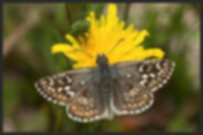 Pyrgus-sidae--yellow-banded-skipper   PTKbutterflies