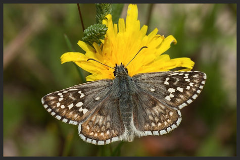 Pyrgus-sidae--yellow-banded-skipper | PTKbutterflies