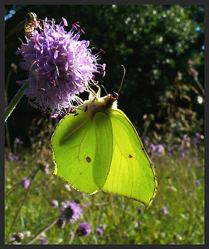 Gonepteryx-rhamni-brimstone | PTKbutterflies