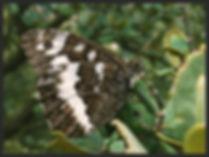 Brintesia-circe-great-banded-grayling- | PTKbutterflies
