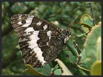 Brintesia-circe-great-banded-grayling- | PTKbutterflies