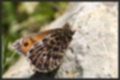 Oeneis-glacialis-alpine-grayling | PTKbutterflies
