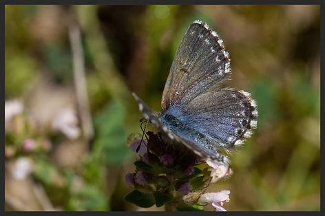 Pseudophilotes-panoptes-panoptes-blue   PTKbutterflies