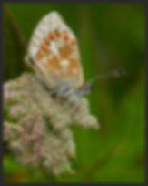 Aricia-artaxerxes-salmacis-northern-brow | PTKbutterflies