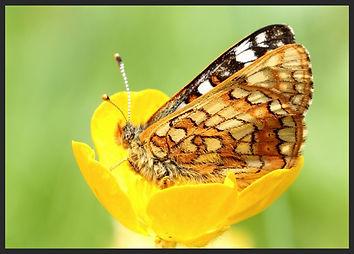 Euphydryas-cynthia-cynthias-fritillary-   PTKbutterflies