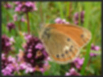 Coenonympha-iphioides-spanish-heath | PTKbutterflies