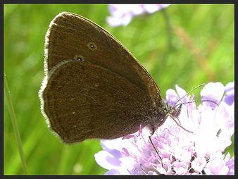 Aphantopus-hyperantus-the-ringlet-ab-arete | PTKbutterflies