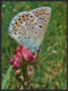 Polyommatus-escheri-eschers-blue | PTKbutterflies