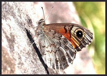 Lasiommata-maera-large-wall-brown   PTKbutterflies