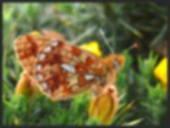 Boloria-euphrosyne-pearl-bordered-fritil   PTKbutterflies