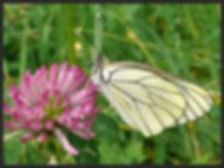 Aporia-crategi-black-veined-white | PTKbutterflies