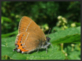 Satyrium-pruni-black-hairstreak | PTKbutterflies