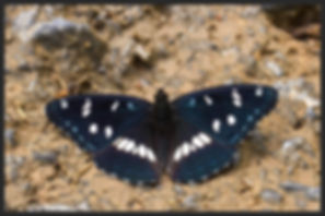 Limenitis-reducta-southern-white-admiral | PTKbutterflies