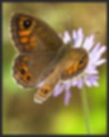 Lasiommata-maera-large-wall-brown | PTKbutterflies