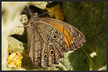 Kirinia-roxelana-lattice-brown-butterfly | PTKbutterflies