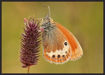 Coenonympha-darwiniana-darwins-heath | PTKbutterflies