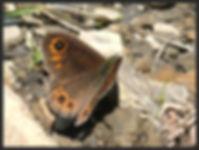 Lasiommata-petropolitana-northern-wall- | PTKbutterflies