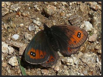 Erebia-meolans-piedmont-ringlet   PTKbutterflies