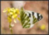 Euchloe-belemia-green-striped-white | PTKbutterflies