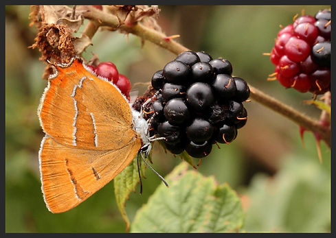 Thecla-betulae-brown-hairstreak | PTKbutterflies