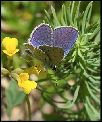 Cupido-osiris-osiris-blue | PTKbutterflies