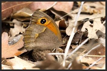 Maniola-telmessia-eastern-meadow-brown- | PTKbutterflies