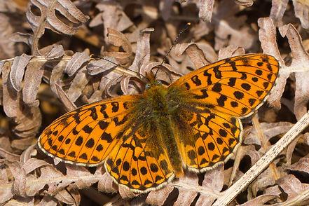 Boloria-euphrosyne-pearl-bordered-fritil | PTKbutterflies