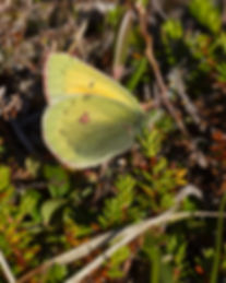 Colias-hecla-Northern-Clouded-Yellow | PTKbutterflies