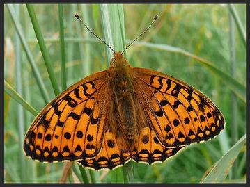 Argynnis-aglaja-dark-green-fritillary | PTKbutterflies