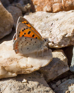 Lycaena-phlaeas-polaris-small-copper | PTKbutterflies