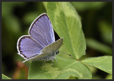Everes-alcetas-provencal-short-tailed-bl | PTKbutterflies