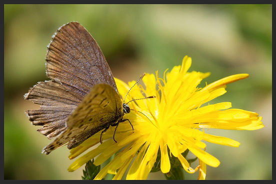Pseudophilotes-bavius-bavius-blue- | PTKbutterflies