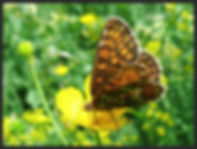 Melitaea-aurelia-nickerls-fritillary | PTKbutterflies