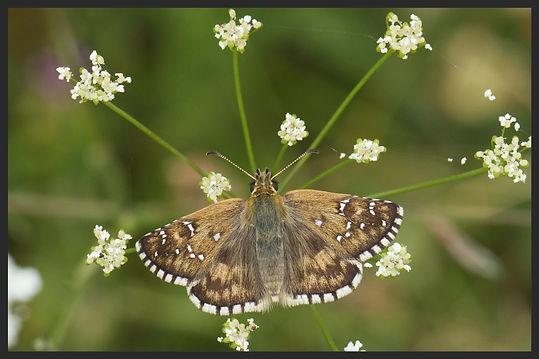 Pyrgus amoricanus  Oberthur's Skipper | PTKbutterflies